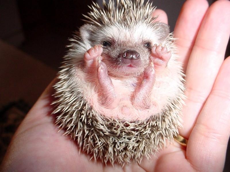 Desert-Hedgehog-Paraechinus-aethiopicus